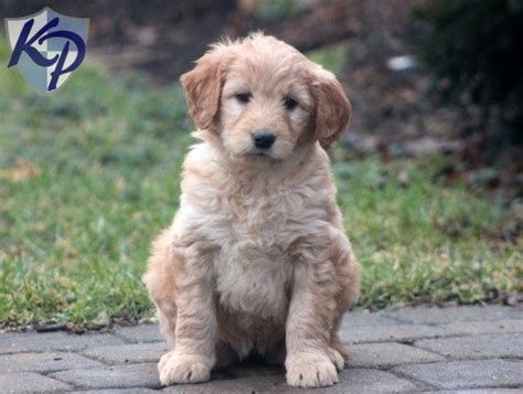 goldendoodle puppy not miniature goldendoodle puppy www keystonepuppies