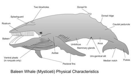 whale skeleton diagram whale anatomy