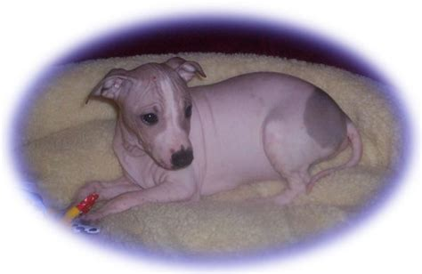 hairless puppies for sale american hairless terrier puppies for sale american hairless terrier breeders