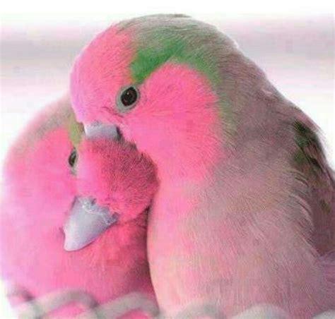 pink lovebirds birds tropical birds