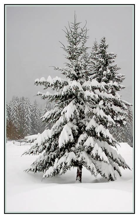 treknature snowy fir tree photo