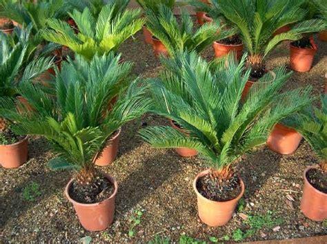 palme da terrazzo pianta cicas piante da giardino coltivare la pianta cicas