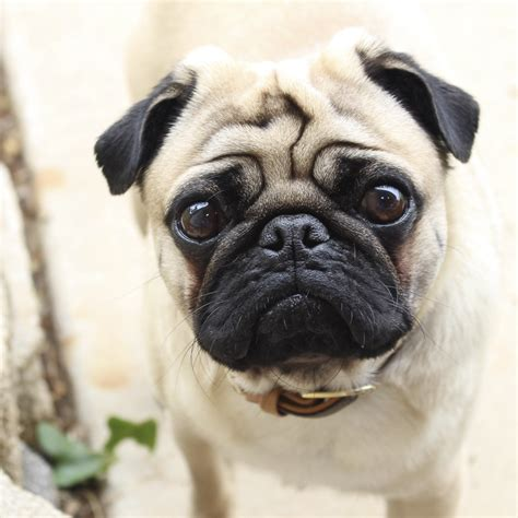 what age do pugs live to social pug profile vinny the pug diary