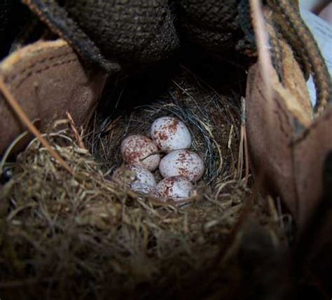 nests eggs and young carolina wren
