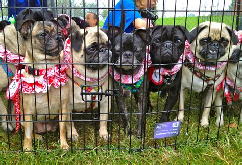 homeward bound pug rub a dub race for rescues event brings awareness to local rescue organizations and