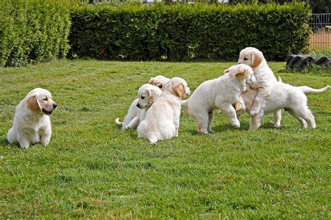 golden retriever oklahoma 8 ok ami 233 rt a golden retriever ide 225 lis csal 225 di kutya golden retriever k 246 ly 246 k