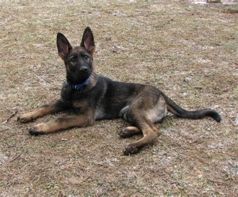 how much should i feed my german shepherd puppy how much to feed my german shepherd x husky yahoo answers