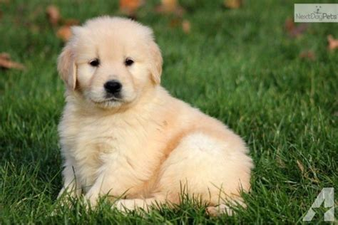 golden retriever puppies in medford oregon iso akc golden retriever for sale in medford oregon classified