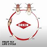 Fruit Fly Life Cycle Stages | 600 x 600 jpeg 155kB