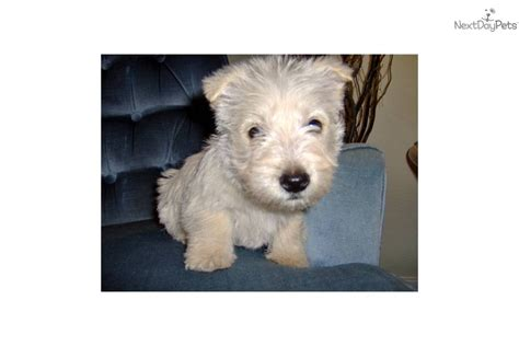 akc scottish terrier puppies for sale scottish terrier puppies for sale oregon