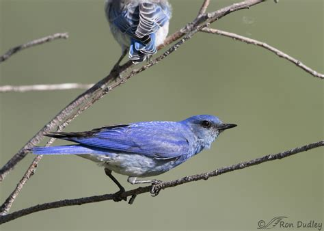 male mountain bluebird feeding a hungry fledgling