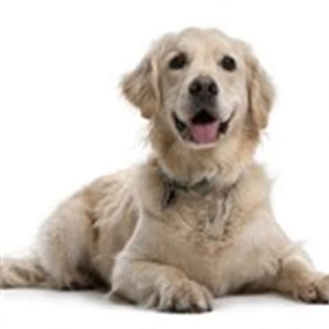 golden retriever hip dysplasia early neuter doubles the risk of hip dysplasia in dogs new study