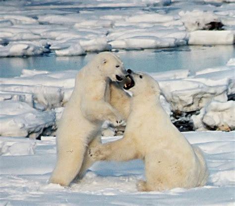 polar and file polar bears play fight jpg