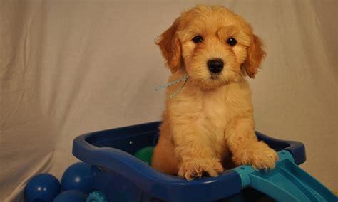 goldendoodle puppy atlanta ga f1b f2b f3 miniature medium standard goldendoodle