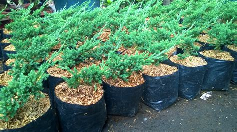 Bibit Sengon Banjarmasin jual tanaman hias di banjarmasin jual bibit tanaman unggul