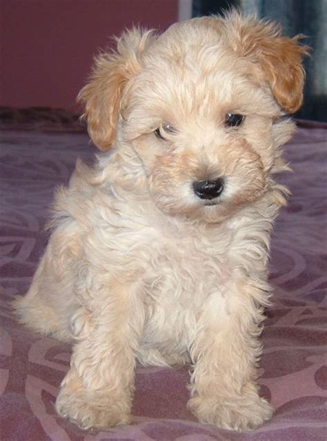 teddy schnoodle puppies for sale schnoodle puppies for sale newhairstylesformen2014