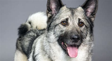 elkhound puppy elkhound breed information american kennel club