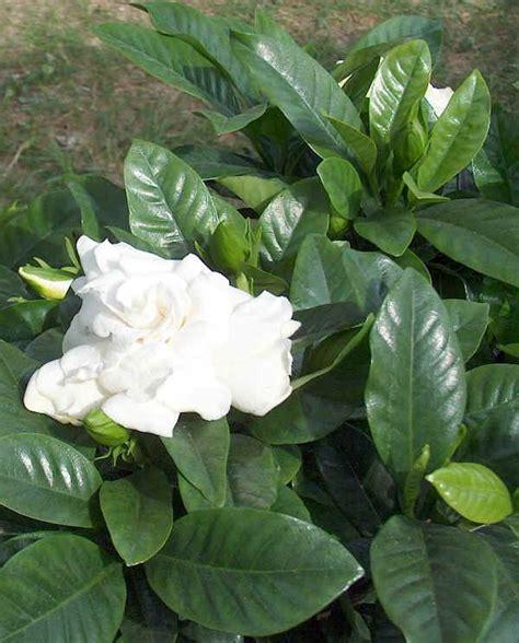 gardenia vaso piante da vaso gardenia gardenia amoena gardenia