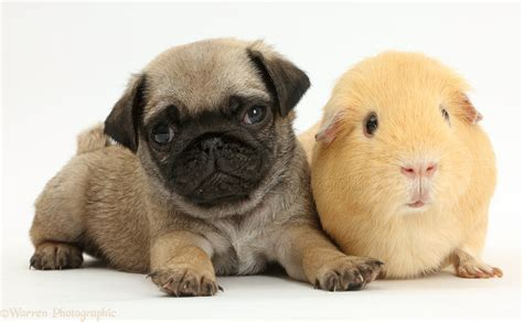 how to a pig pup pets pug puppy yellow guinea pig photo wp41983