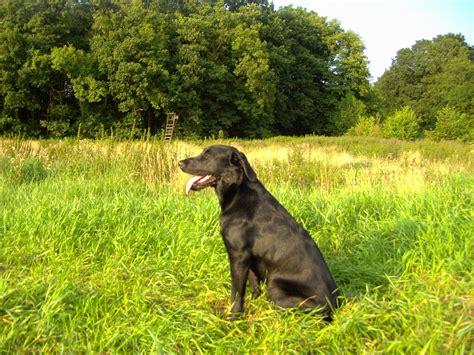 suche neues zuhause für meinen hund hunde rassehunde labrador tieranzeigen seite 20