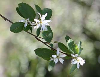 Western Serviceberry Bush Pictures
