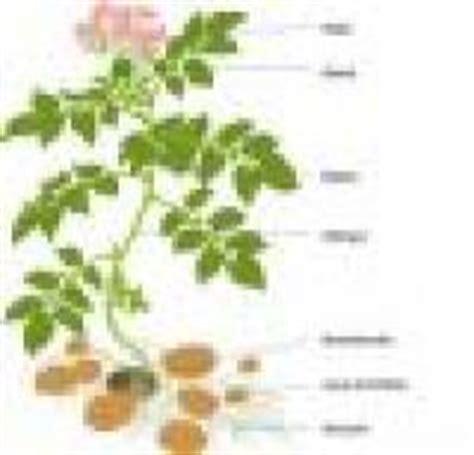 Beschriftung Kartoffelpflanze sodis content pool