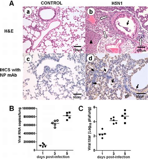 Pathological Lung Sections by Pathological Features Of H5n1 Infected Mice A Lung Histopathology At