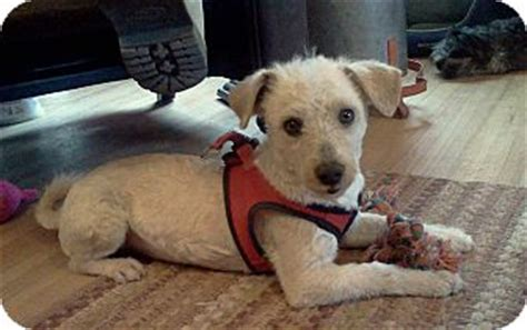 dogs for adoption albuquerque osito adopted albuquerque nm terrier unknown type small