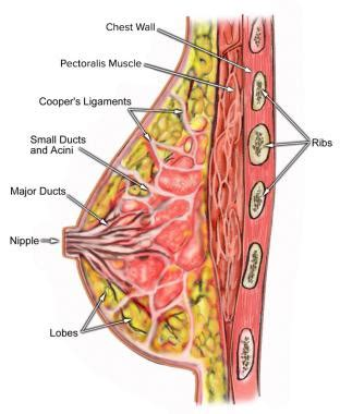 diagram of breast tissue acids gastric anatomy of breast tissue ratio abdominus