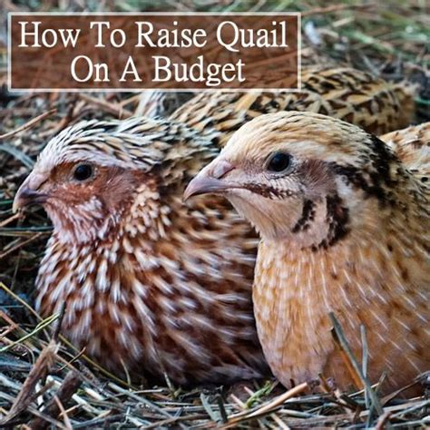 raising quail backyard 41 best images about quail on pinterest