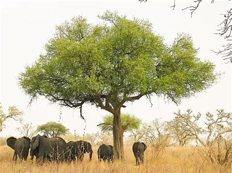 file elephants around tree in waza cameroon jpg wikipedia