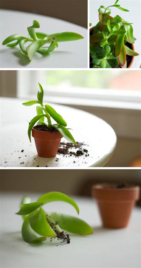 How To Propagate A Succulent Cookie And Kate - how to propagate a succulent cookie and kate