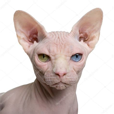 sphynx stock photos sphynx stock sphynx cat 1 year in front of white background