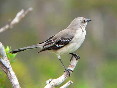 my temple of nature melodious mockingbirds