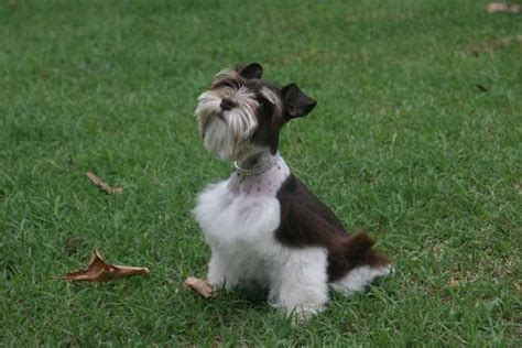 puppies for sale in oklahoma pictures of salt and pepper schnauzers breeds picture