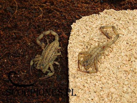Isometrus Maculatus isometrus maculatus degeer 1778 scorpiones pl