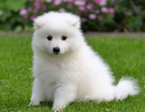 japanese spitz puppies japanese spitz puppies in aberdeen gumtree