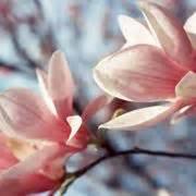 magnolia fiore significato magnolia magnolia grandiflora alberi caratteristiche