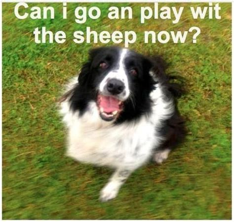 Border Collie Meme - 1000 images about animal smiles on pinterest sheep dogs