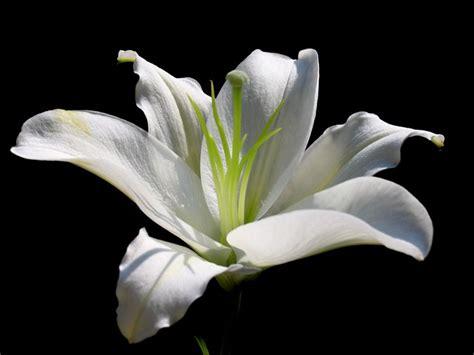 giglio fiore significato significato giglio significato fiori giglio linguaggio