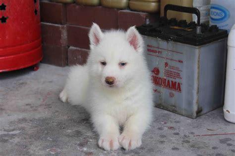 white siberian husky puppy white husky puppy www imgkid the image kid has it