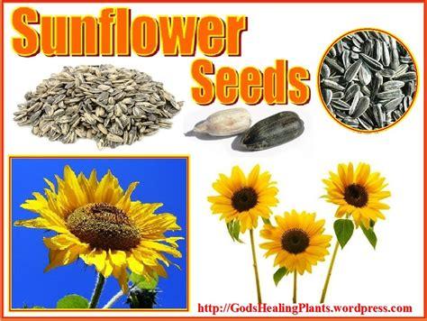 black sunflower seeds benefits sunflower seed benefits god s healing plants