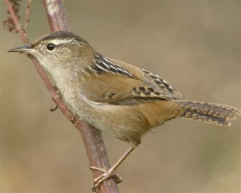 marsh wren audubon field guide