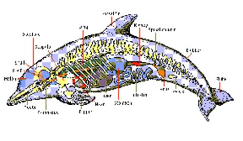whale respiratory system diagram kidlink global education projects