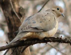 Mourning dove identification all about birds cornell lab of