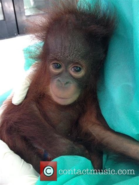 lexus orangutan atmosphere international rescue take care of