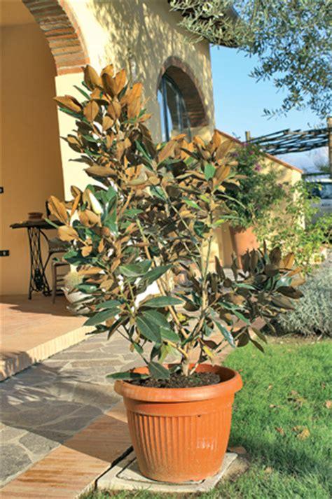 magnolia in vaso giardini