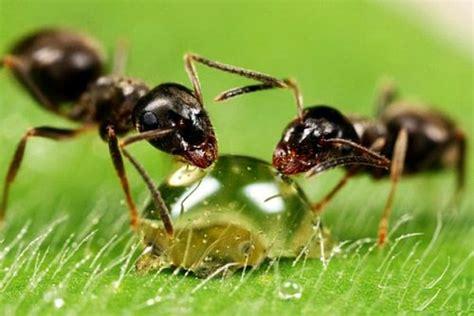 ameisen im haus bekämpfen ameisen bek 228 mpfen im haus und im garten hausmittel gegen