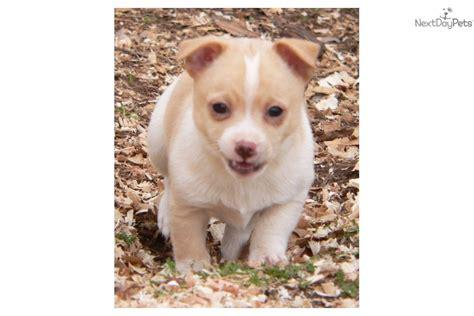 pomeranian puppies for sale in redding ca pomchi puppy for sale near redding california 4527e92a d451