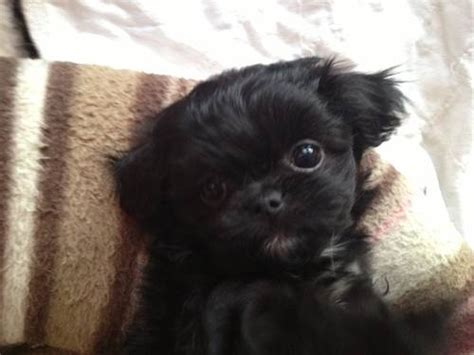 chihuahua poodle mix puppies for sale 25 best ideas about cutest puppy on
